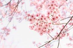 Falta de definición suave de flores rosadas Fotografía de archivo libre de regalías