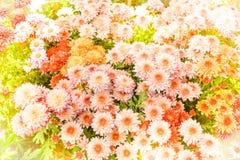 Falta de definición suave de las flores del crisantemo Fotos de archivo