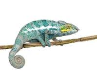 faly变色蜥蜴furcifer香的pardalis 库存图片