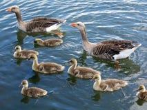 Família 2 do ganso de pato bravo europeu Fotografia de Stock