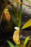 Família #3 de Nepenthe Imagens de Stock Royalty Free