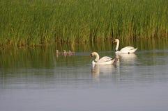 Família 8481 da cisne Fotos de Stock Royalty Free