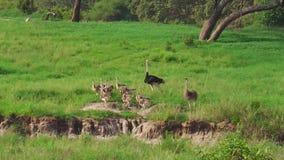 Família africana das avestruzes com bebês vídeos de arquivo