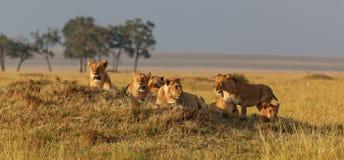 Família africana do leão no relógio em um outeiro no por do sol Fotografia de Stock Royalty Free