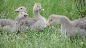 A família bonito doméstica dos gansos pasta no terreiro tradicional da vila Grupo de ganso macios que anda na grama filme
