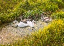 Família branca selvagem da cisne do pássaro da espiga, pena e do amadurecimento cisnes novos sobre Fotos de Stock Royalty Free