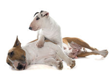 Família bull terrier Fotos de Stock Royalty Free