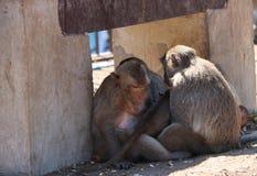 A família caranguejo-comendo do macaco de macaque que senta-se para evitar o sol foto de stock royalty free