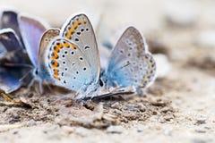Família da borboleta Fotografia de Stock