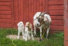 Família da cabra Foto de Stock