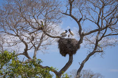 Família da cegonha de Jabiru no ninho enorme, céu azul Imagens de Stock