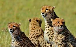 Família da chita de Serengeti Fotos de Stock Royalty Free
