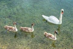 Família da cisne Fotos de Stock