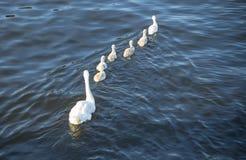 Família da cisne fotos de stock royalty free
