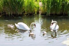 A família da cisne com as crianças dos pintainhos do bebê caçoa cisnes Imagens de Stock