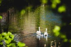 Família da cisne com bebês Fotografia de Stock