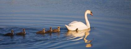 Família da cisne da cisne Foto de Stock Royalty Free