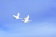 Família da cisne do vôo fotografia de stock