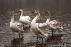 Família da cisne muda com o tiro crescido do close up dos cisnes novos fotos de stock