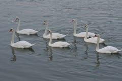 Família da cisne no lago fotografia de stock royalty free