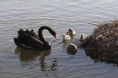 Família da cisne preta imagens de stock