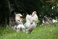 Família da galinha Foto de Stock Royalty Free