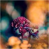Família da margarida do Asteraceae imagens de stock