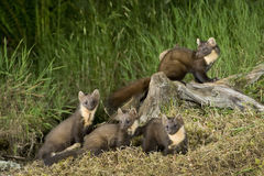 Família da marta de pinho foto de stock