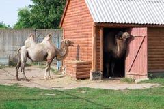 Família da posição humped branca dos pares dos camelos na jarda do aviário do jardim zoológico imagem de stock royalty free