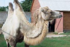 Família da posição two-humped branca dos pares dos camelos na jarda do aviário do jardim zoológico imagens de stock