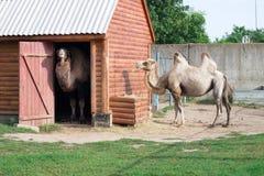 Família da posição two-humped branca dos pares dos camelos no aviário do jardim zoológico fotos de stock royalty free