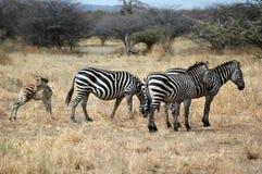 Família da zebra Imagens de Stock