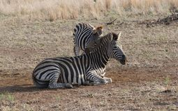 Família da zebra Foto de Stock Royalty Free