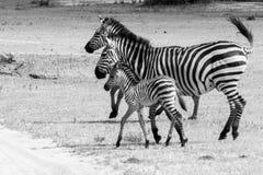 Família da zebra de B&W no parque nacional de Tarangire, Tanzânia Fotografia de Stock Royalty Free