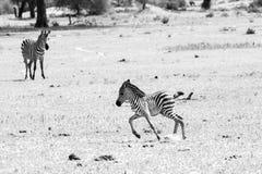 Família da zebra de B&W no parque nacional de Tarangire, Tanzânia Fotos de Stock Royalty Free