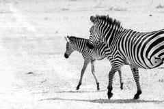 Família da zebra de B&W no parque nacional de Tarangire, Tanzânia Fotos de Stock