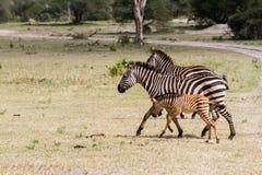 Família da zebra no parque nacional de Tarangire, Tanzânia Imagem de Stock Royalty Free