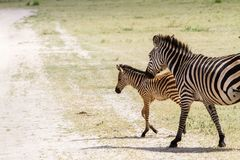 Família da zebra no parque nacional de Tarangire, Tanzânia Foto de Stock Royalty Free