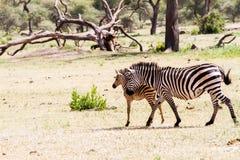 Família da zebra no parque nacional de Tarangire, Tanzânia Fotos de Stock Royalty Free