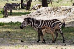 Família da zebra no parque nacional de Tarangire, Tanzânia Fotografia de Stock