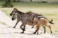 Família da zebra no parque nacional de Tarangire, Tanzânia Imagens de Stock Royalty Free