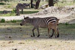 Família da zebra no parque nacional de Tarangire, Tanzânia Fotografia de Stock Royalty Free