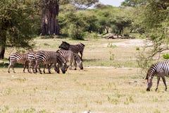 Família da zebra no parque nacional de Tarangire, Tanzânia Imagens de Stock