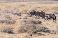 A família da zebra toma uma caminhada com um oryx no parque nacional de Etosha, Namíbia fotografia de stock royalty free