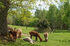 A família das alpacas com bebê pequeno pasta na grama verde pelo la Imagens de Stock