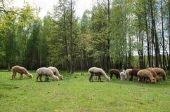 A família das alpacas com bebê pequeno pasta na grama verde pelo la Imagem de Stock