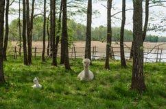 A família das alpacas com bebê pequeno pasta na grama verde pelo la Foto de Stock Royalty Free