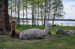 A família das alpacas com bebê pequeno pasta na grama verde pelo la Imagem de Stock Royalty Free