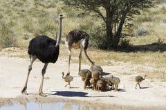 Família das avestruzes que aproximam uma associação de água no sol quente do K fotografia de stock royalty free