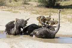 Família das avestruzes que têm um banho no sol quente do Kalahari fotografia de stock